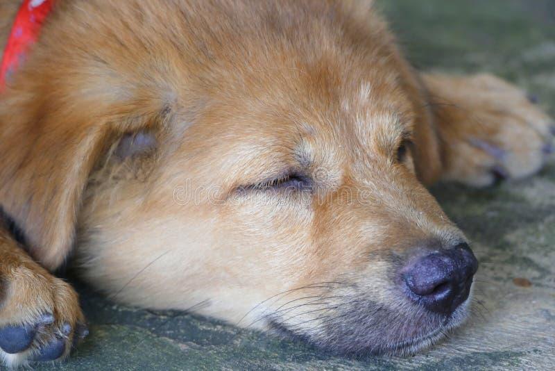 Sonno adorabile del cucciolo di cane di Brown del fronte del primo piano piccolo fotografia stock libera da diritti