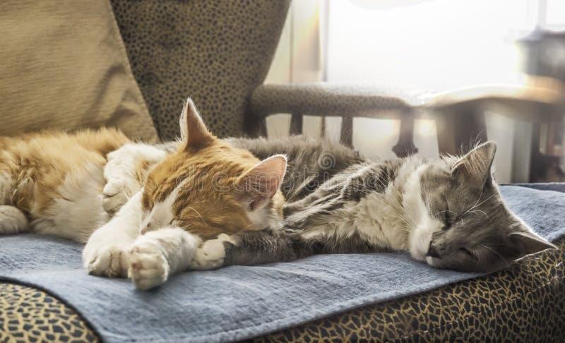Sonno bianco arancio e grigio dei gatti abbracciato fotografia stock libera da diritti