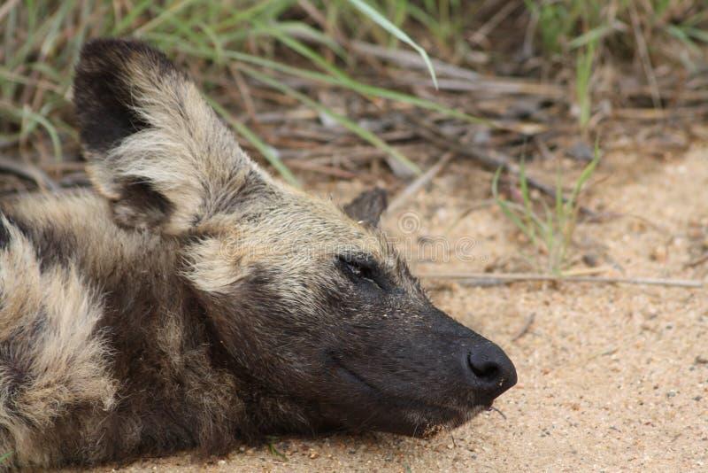 Sonno del cane selvaggio fotografia stock
