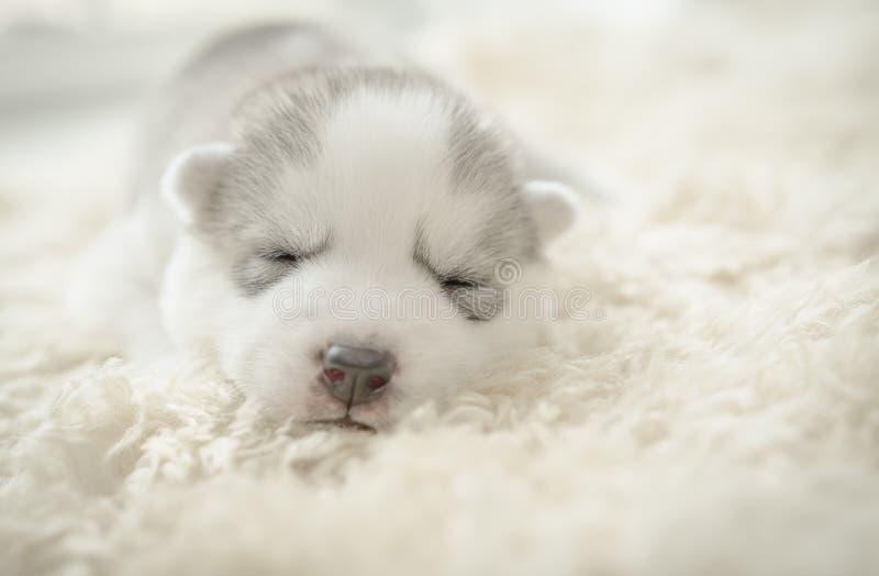Sonno del cucciolo del husky siberiano immagini stock