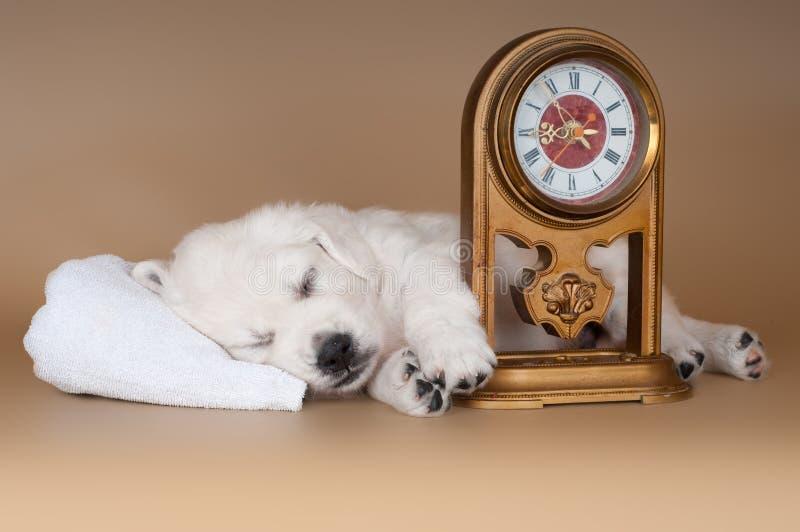 Sonno del cucciolo di golden retriever immagini stock