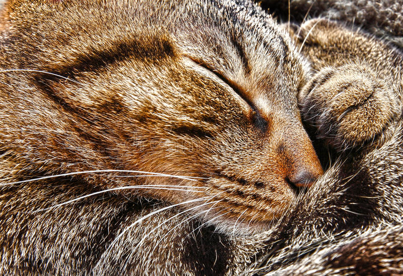 Sonno del gatto fotografia stock immagine di arricciato - Immagine del gatto a colori ...