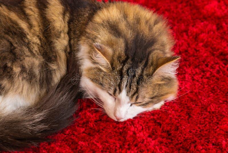 Sonno del gatto di soriano accartocciato su tappeto rosso fotografia stock