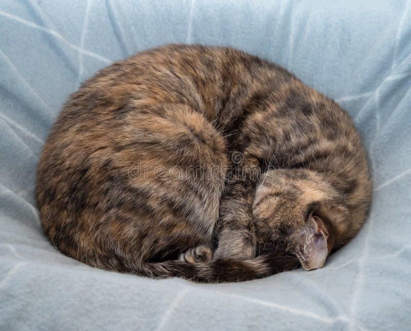 Sonno del gatto di soriano della carapace accartocciato in una palla sulla coperta immagini stock libere da diritti
