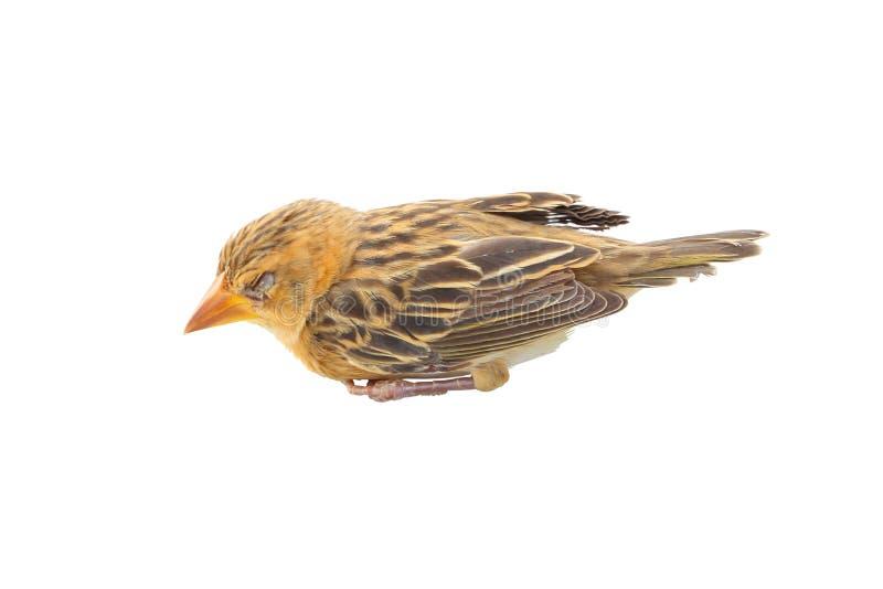 Sonno Del Giovane Uccello Fotografie Stock Libere da Diritti
