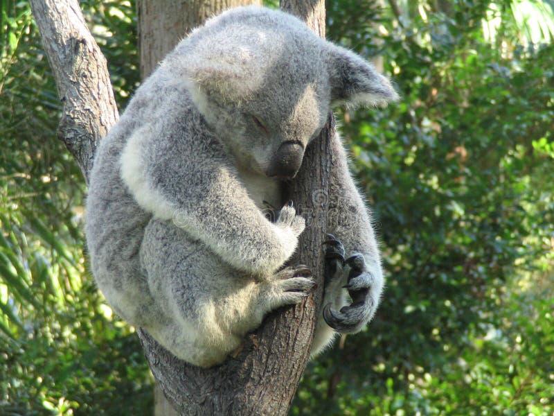 Sonno del Koala fotografia stock libera da diritti
