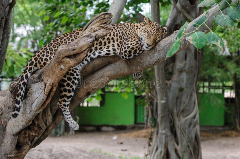 Sonno del leopardo su un albero in parco fotografie stock libere da diritti