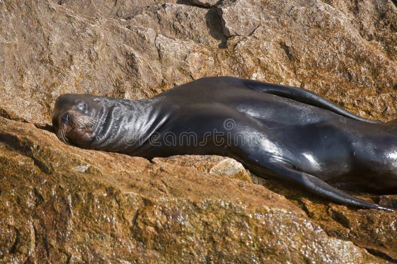 sonno del mare della roccia del leone fotografia stock libera da diritti