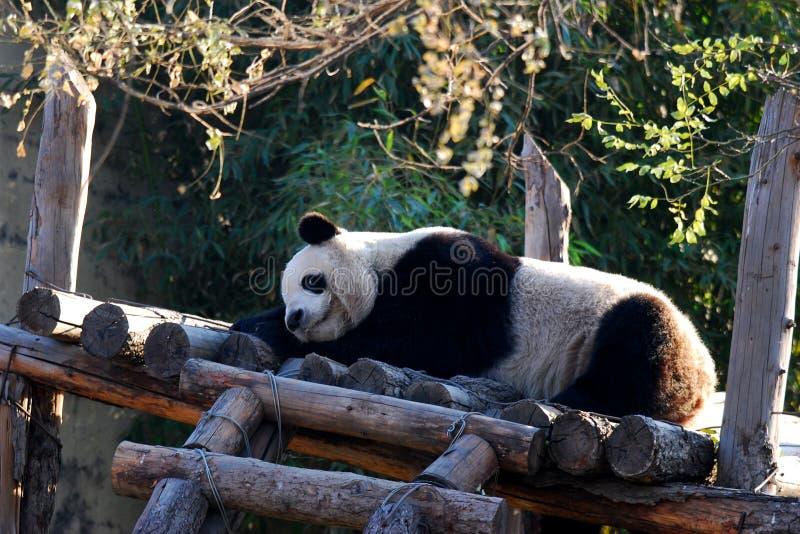 sonno del panda fotografie stock