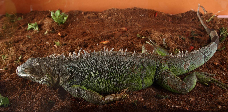 Sonno dell'iguana fotografie stock