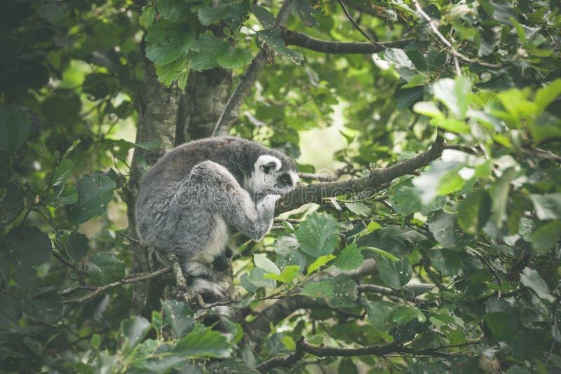Sonno della scimmia di catta delle lemure fotografia stock