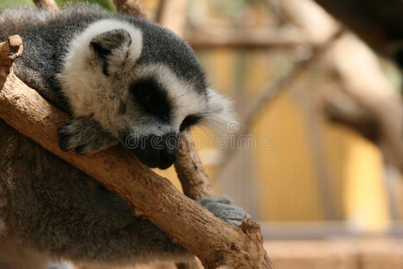 Sonno delle lemure fotografie stock libere da diritti