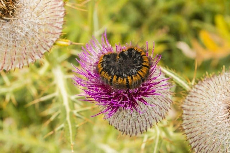 Sonno di Caterpillar immagini stock