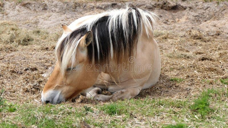 Sonno marrone chiaro del cavallo fotografia stock