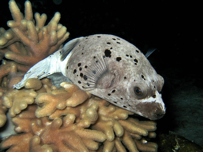 Sonno Pufferfishy fotografie stock
