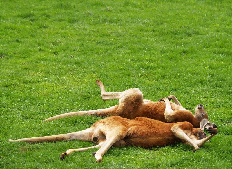 Sonno rosso del canguro fotografia stock