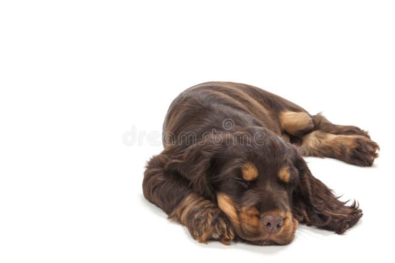 Sono bonito do cão de cachorrinho de cocker spaniel fotos de stock royalty free