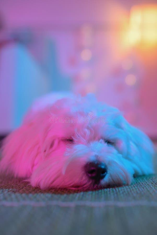 Sono branco do cão maltês do cachorrinho fotografia de stock
