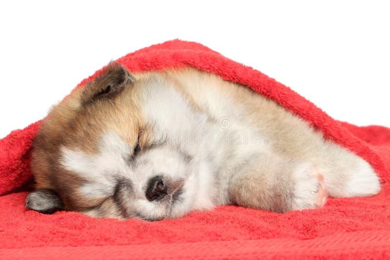 Sono do filhote de cachorro de Akita-inu, coberto com um cobertor imagens de stock