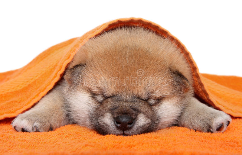 Sono do filhote de cachorro de Shiba Inu no fundo branco foto de stock