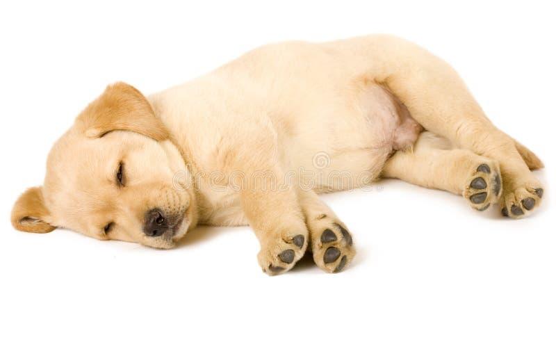 Sono do filhote de cachorro do retriever de Labrador fotografia de stock