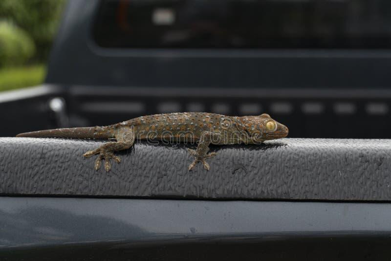 Sono do geco no carro traseiro foto de stock