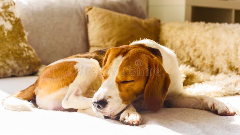Sono do lebreiro do cão no sofá na luz do sol fotos de stock royalty free