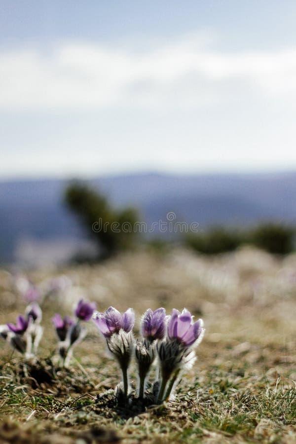 Sono-grama que cresce sobre a montanha, paisagem de Bush da montanha, tempo de mola fotos de stock royalty free