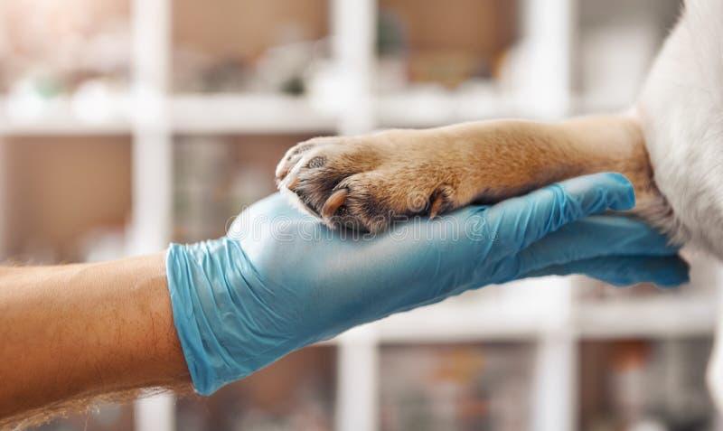 Sono il vostro amico Mano di un veterinario in un guanto protettivo che tiene una zampa del suo paziente durante mentre lavorando immagine stock libera da diritti