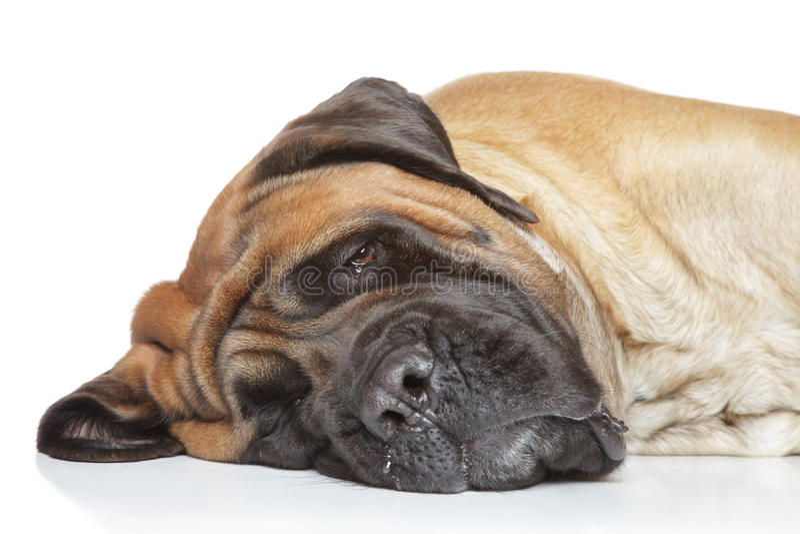 Sono inglês do mastiff imagem de stock