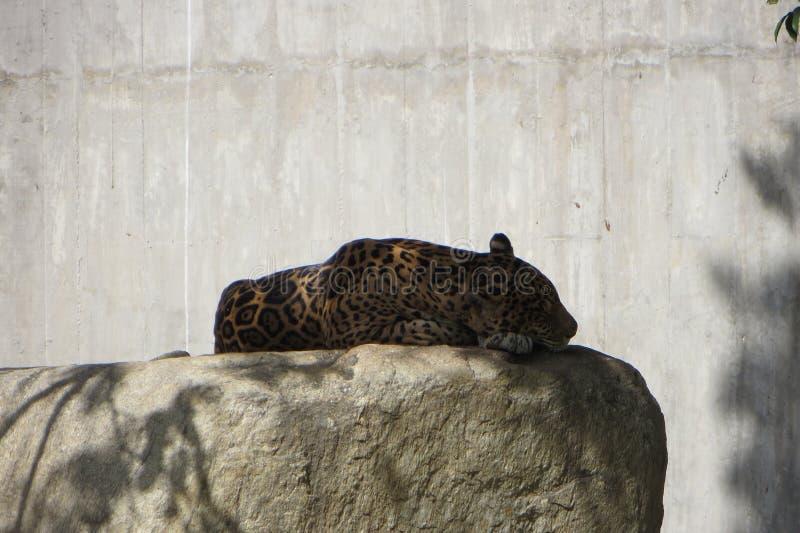 Sono Jaguar imagens de stock