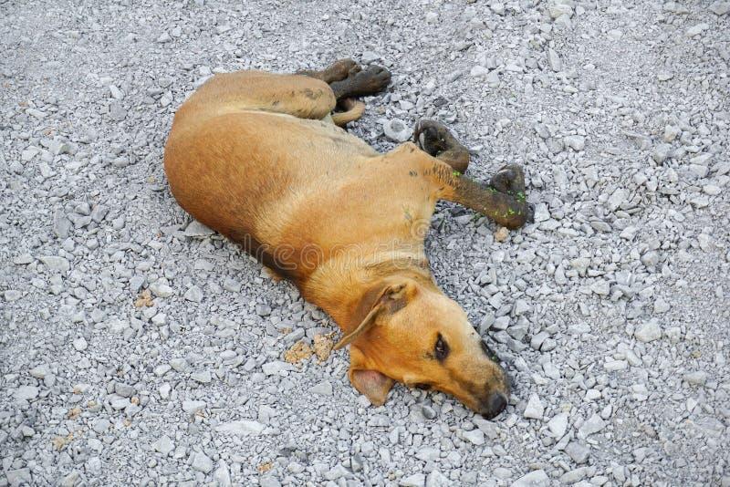 Sono marrom bonito do cão no assoalho de pedra fotos de stock