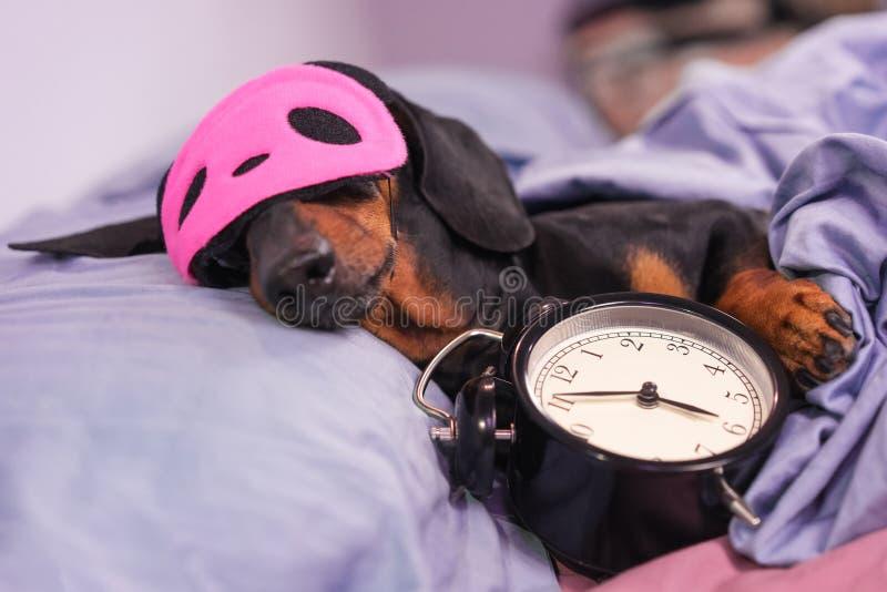 Sono preto e bronzeado do bassê da raça do cão na cama com máscara e despertador do sono Viva com a programação, hora de acordar foto de stock