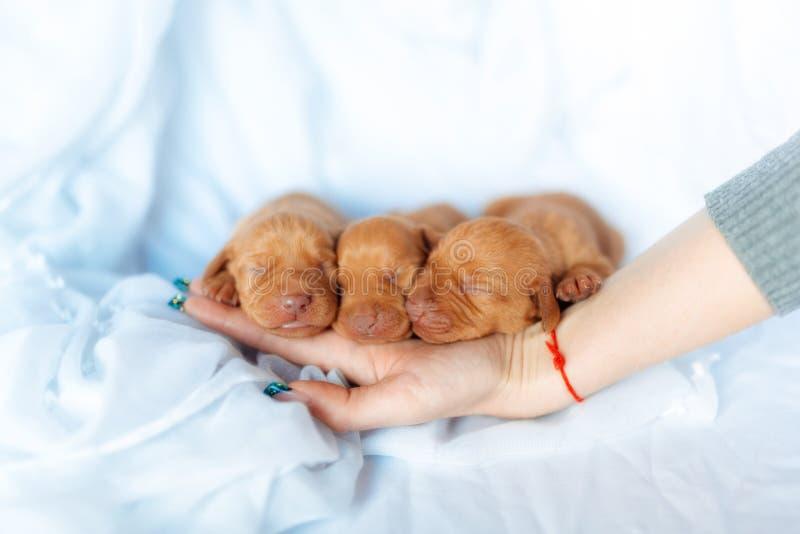 Sono vermelho bonito da semana da idade do cão de Visla do cachorrinho na mão no fundo azul imagens de stock