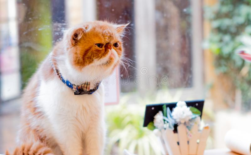 Sonolento um gato alaranjado adorável foto de stock