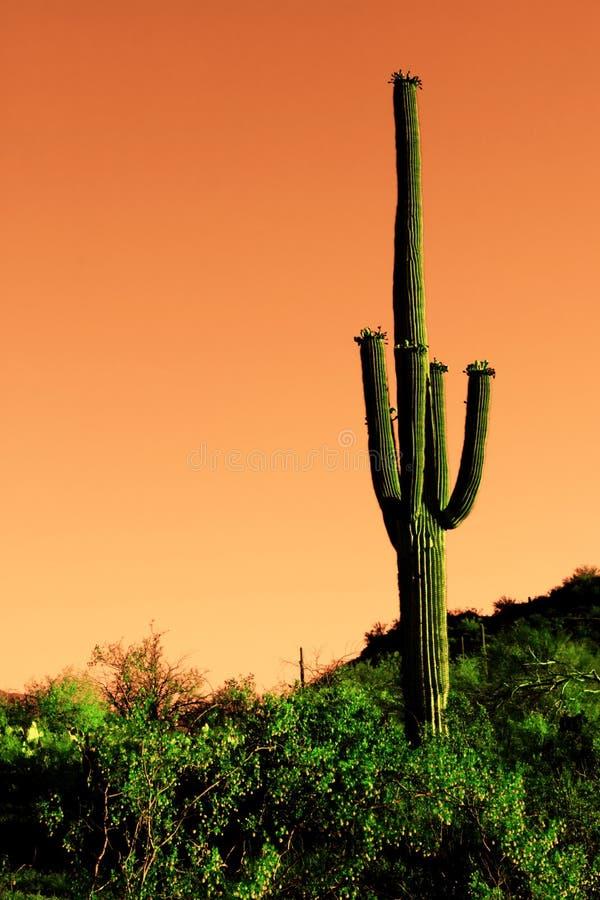 sonoma för saguaro för kaktusöken infraröd royaltyfri fotografi