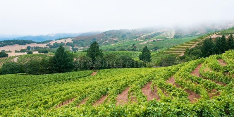 Sonoma Vineyard with Foggy Horizon stock photo