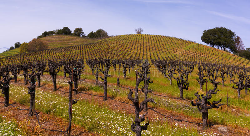 Sonoma Vineyards. Sonoma county is world famous for its wine stock photo