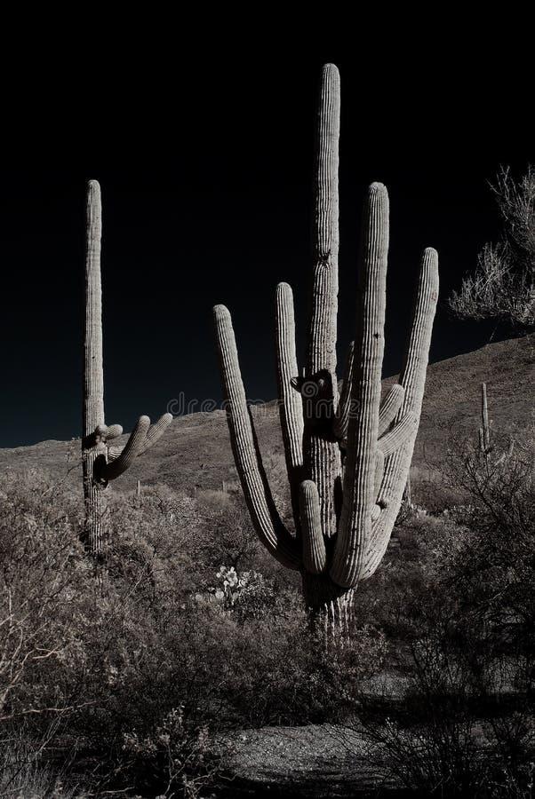 Sepia tone Saguaro Cactus Sonora desert Arizona. The Sonora desert in central Arizona USA with saguaro and cholla cactus sepia toned stock images