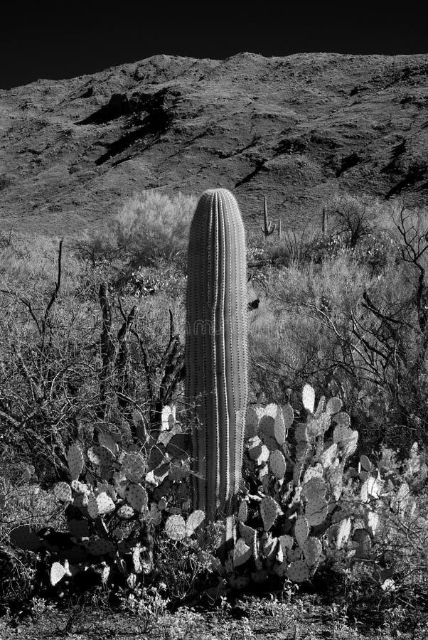 Saguaro Cactus Sonora desert Arizona. The Sonora desert in central Arizona USA with young saguaro and prickly pear cactus stock photos