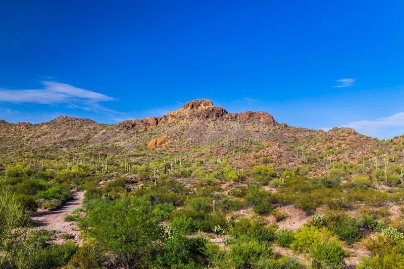 Sonoran沙漠在亚利桑那 柱仙人掌仙人掌和其他本地植物前景的与含沙土路;岩石小山 库存图片
