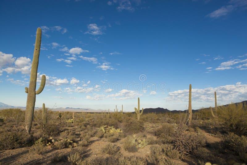 Sonoran öken på gryning royaltyfria bilder