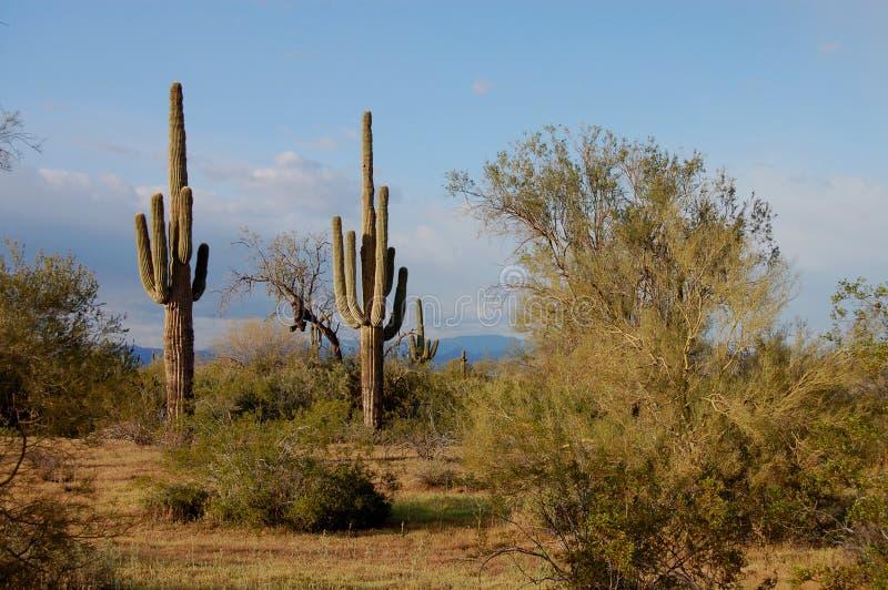 sonoran пустыни стоковые изображения rf