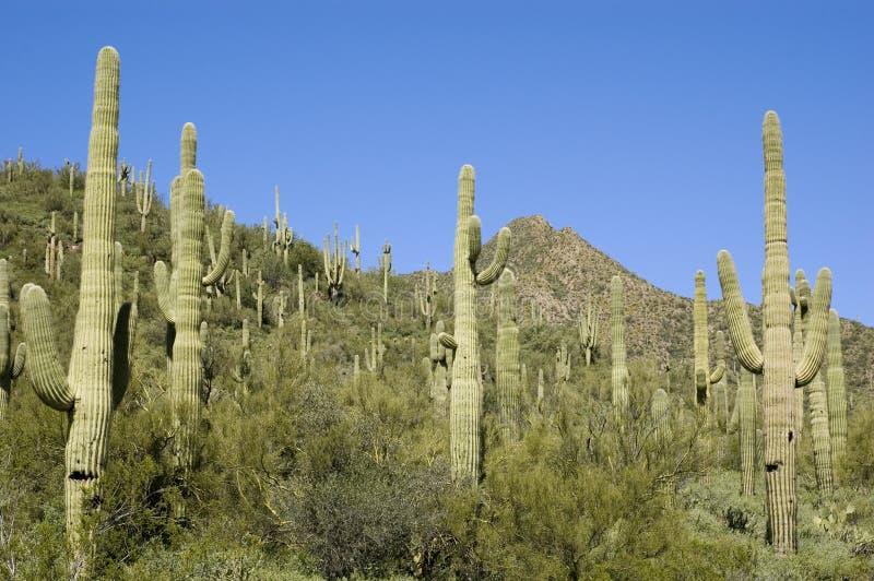 Sonoran Desert Saguaro Cactus royalty free stock image