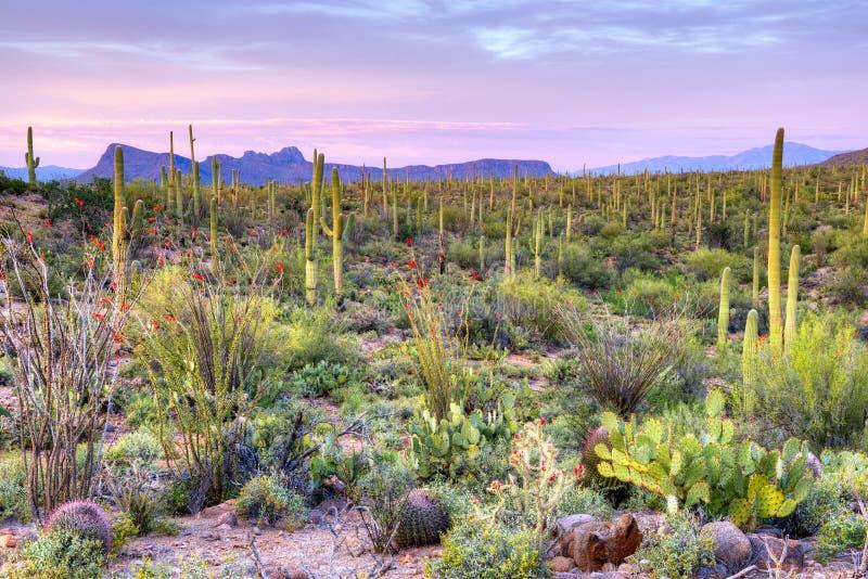 Sonoran Desert. Sunset in Saguaro National Park near Tucson, Arizona royalty free stock photos