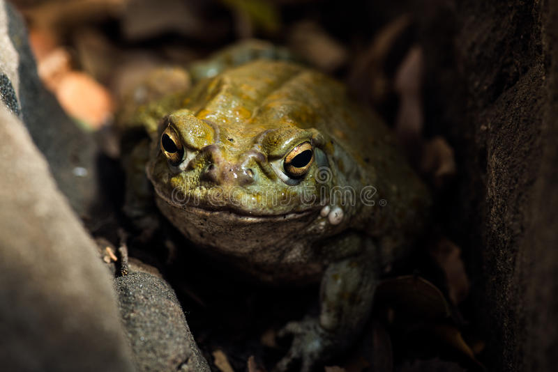 A Sonoran Desert Toad royalty free stock images