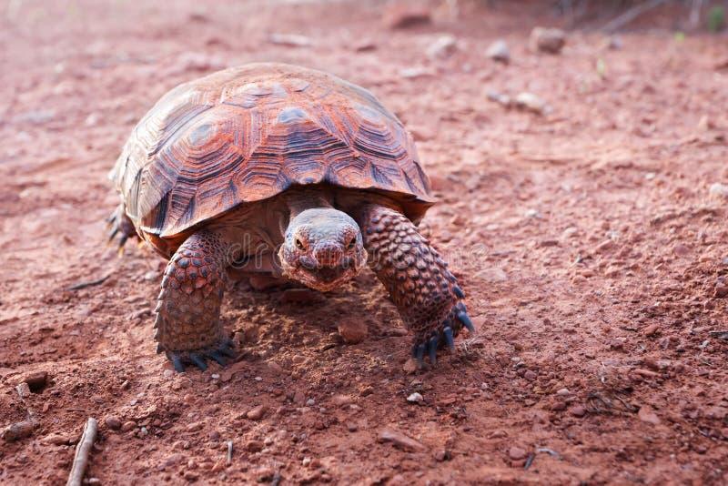 Sonoran Desert Tortoise Gopherus morafkai in Snow Canyon State Park, Utah, US. Threatened vulnerable species in Nature Red L. Ist stock images