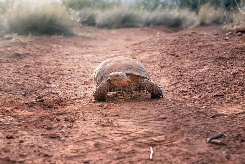 Sonoran Desert Tortoise Gopherus morafkai on the trail. Snow C. Anyon State Park, Utah, US. Threatened vulnerable species in Nature Red List stock image