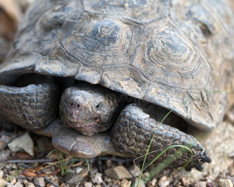 Sonoran Desert Tortoise stock photos