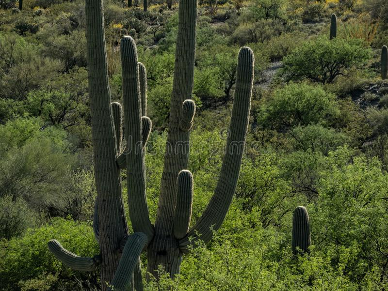 Sonoran pustynia, Saguaro park narodowy fotografia royalty free